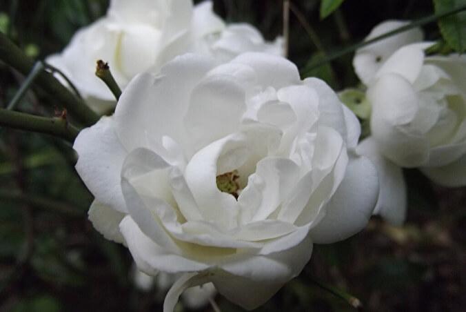 White Koster
