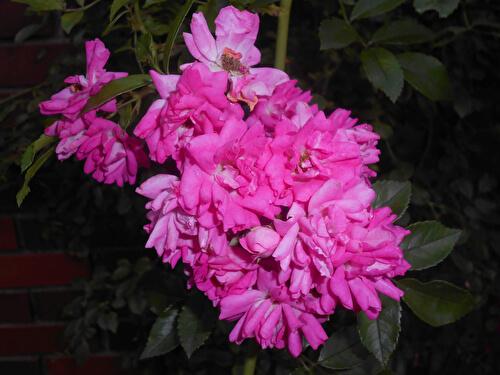 Крупноцветковые плетистые