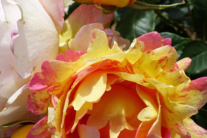 Роз де Цистерсьен