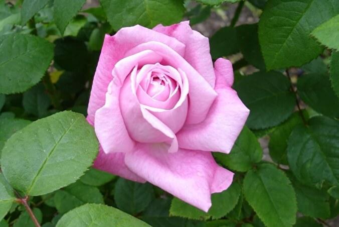 Мэри Роуз