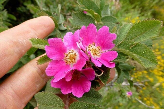 Rosa pendulina L.