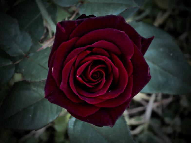 розы блэк бордо фото родителями она жила